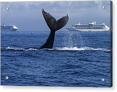Humpback Whale Tail Lobbing In Maui Acrylic Print by Flip Nicklin