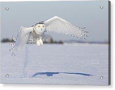 Hunting Snowy Owl Acrylic Print by Mircea Costina Photography