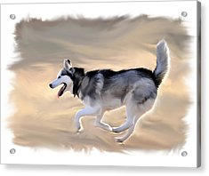 Siberian Husky At Play Acrylic Print by Kevin Pate