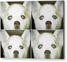Husky Face Acrylic Print by Susan Stone