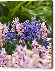 Hyacinth Garden Acrylic Print by Frank Tschakert