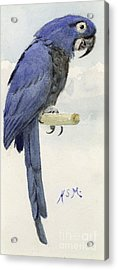 Hyacinth Macaw Acrylic Print by Henry Stacey Marks