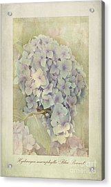 Hydrangea Macrophylla Blue Bonnet Acrylic Print by John Edwards