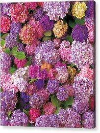 Hydrangiss Babyiss Rare Bloom Acrylic Print by Anne Geddes