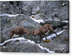 Ibexes Sparring Acrylic Print by Art Wolfe