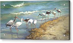 Ibis On Marco Island Acrylic Print by Laurie Hein