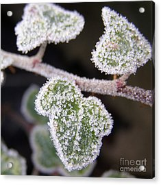 Icy Ivy Acrylic Print by Terri Waters