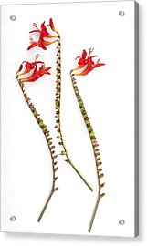 If Seahorses Were Flowers Acrylic Print by Carol Leigh