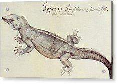 Iguana Acrylic Print by John White