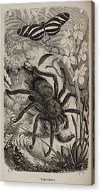 Illustration Of Tarantula And Butterfly Acrylic Print by British Library
