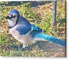 I'm So Blue Acrylic Print by Judy Via-Wolff