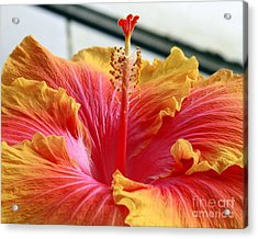 Hibiscus In Full Bloom Acrylic Print by Andrew Bloom