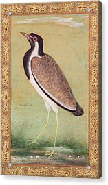 Indian Lapwing Acrylic Print by Mansur