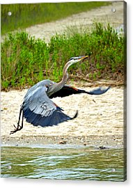 Inflight Great Blue Heron Acrylic Print by Sandi OReilly