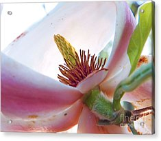 Inner Sanctum Magnolia Acrylic Print by Judy Via-Wolff