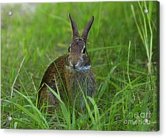 Inquisitive Rabbit Watching You Acrylic Print by Inspired Nature Photography Fine Art Photography