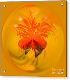 Inside Out Nasturtium Acrylic Print by Anne Gilbert