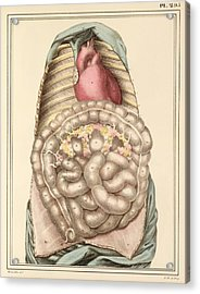 Internal Body Organs, 1825 Artwork Acrylic Print by Science Photo Library