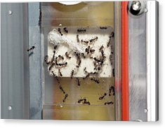 International Space Station Ant Research Acrylic Print by Nasa
