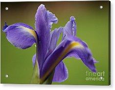 Iris 3 Acrylic Print by Carol Lynch