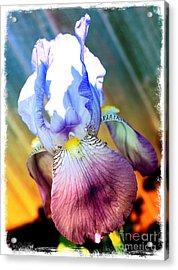 Iris Drama Acrylic Print by Carol Groenen