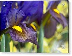 Iris Hollandica Eye Of The Tiger Acrylic Print by Tim Gainey