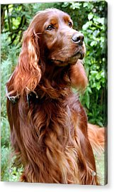 Irish Setter Acrylic Print by Anna Kennedy