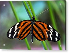 Ismenius Tiger Butterfly Acrylic Print by Cheryl Cencich