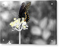 Isolated Swallowtail Butterfly Acrylic Print by Lorri Crossno