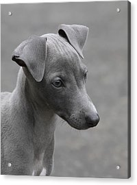 Italian Greyhound Puppy Acrylic Print by Angie Vogel