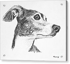 Italian Greyhound Sketch In Profile Acrylic Print by Kate Sumners