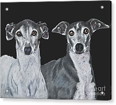 Italian Greyhounds Portrait Over Black Acrylic Print by Kate Sumners