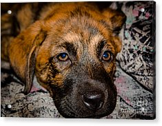 Its A Dogs Life Acrylic Print by Ronny Sczruba