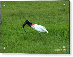 Jabiru Stork Swallowing An Eel Acrylic Print by Gregory G. Dimijian, M.D.