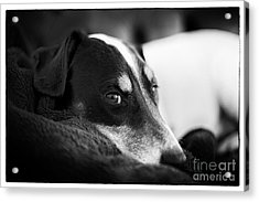 Jack Russell Terrier Portrait In Black And White Acrylic Print by Natalie Kinnear