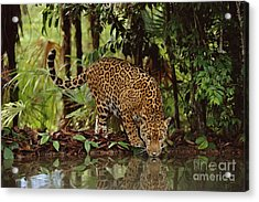 Jaguar Drinking Acrylic Print by Frans Lanting MINT Images