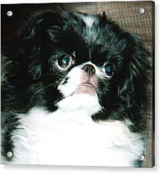 Japanese Chin Puppy Portrait Acrylic Print by Jim Fitzpatrick