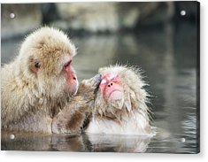 Japanese Macaques Grooming Acrylic Print by Dr P. Marazzi