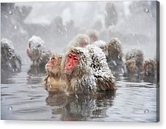 Japanese Macaques In A Hot Spring Acrylic Print by Dr P. Marazzi