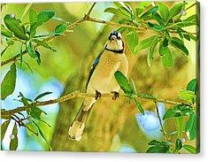 Jay In The Tree Acrylic Print by Deborah Benoit