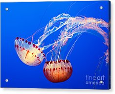 Jelly Dance - Large Jellyfish Atlantic Sea Nettle Chrysaora Quinquecirrha. Acrylic Print by Jamie Pham