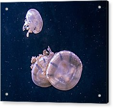 Jellyfish 2 Acrylic Print by Steve Harrington