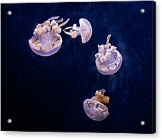 Jellyfish Acrylic Print by Steve Harrington