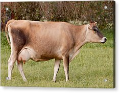 Jersey Cow In Pasture Acrylic Print by Michelle Wrighton
