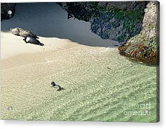 Just Born Baby Sea Lion Pup With Mom And Dad Napping On The Beach Acrylic Print by Artist and Photographer Laura Wrede