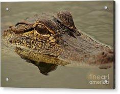 Juvenile Alligator Acrylic Print by Lynda Dawson-Youngclaus