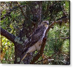 Juvenile Red-tailed Hawk Acrylic Print by CapeScapes Fine Art Photography