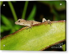 Juvie Brown Anole Acrylic Print by Lynda awson-Youngclaus