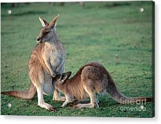 Kangaroo With Joey Acrylic Print by Gregory G. Dimijian, M.D.
