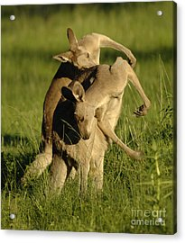 Kangaroos Taking A Bow Acrylic Print by Bob Christopher